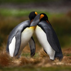 48832600 - king penguin couple cuddling in wild nature with green background