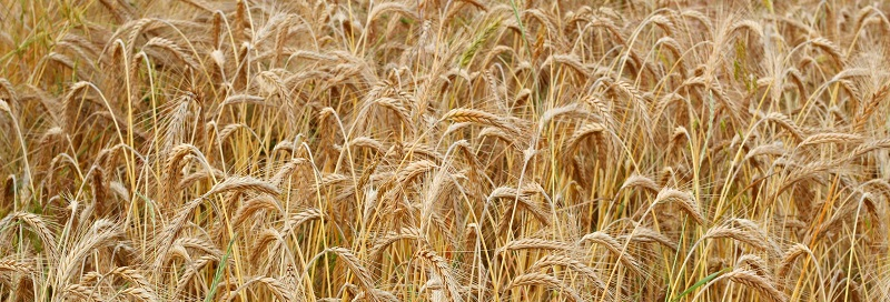 Photo of a field of wheat