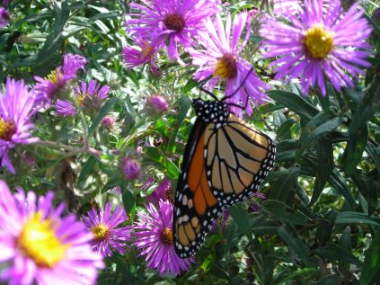 Two views of the half dozen or so Monarch butterflies that adorned the garden the day of the open house, flitting busily from flower to flower, along with hundreds of bees and other butterflies.