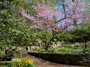 Natives redbud tree and golden ragwort (L) late April 2014 in the Shade Demonstration Garden.
