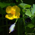 Stylophorum diphyllum (celandine poppy) in the demonstration Shade Garden in spring. Photo © Mary Free