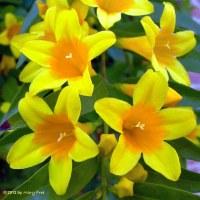 Gelsemium sempervirens (Carolina Jessamine) close-up. Photo © Mary Free