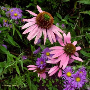 Echinacea and Symphyotrichum novae-angliae (New England aster) in Alexandria's Simpson Gardens