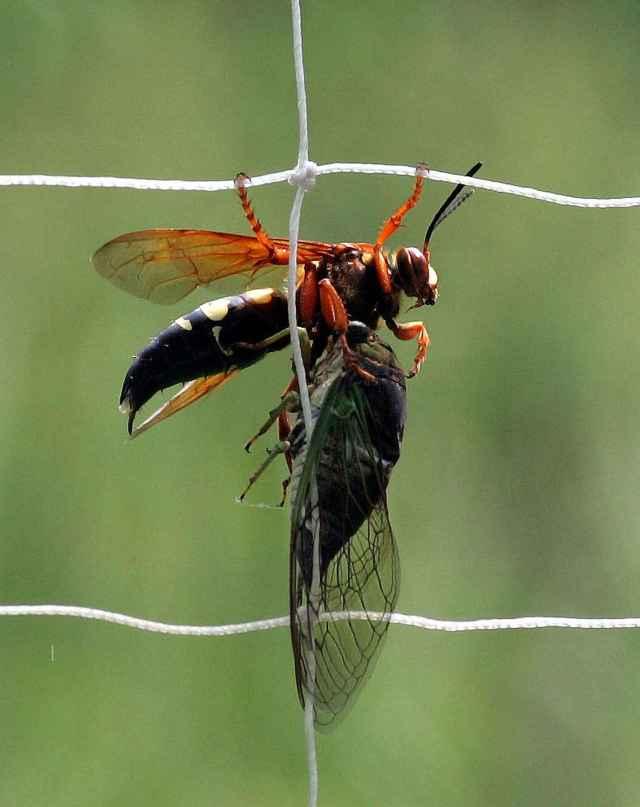 Cicada killer wasp with dog-day cicada  by Bill Buchanan USFWS at http://digitalmedia.fws.gov/cdm/singleitem/ collection/natdiglib/id/11642/rec/1