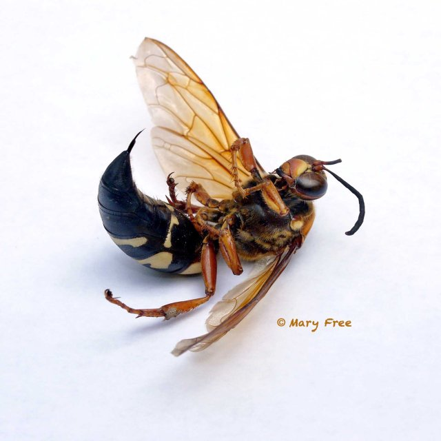 Dead cicada killer wasp with a broken antenna. Copyright Mary Free.
