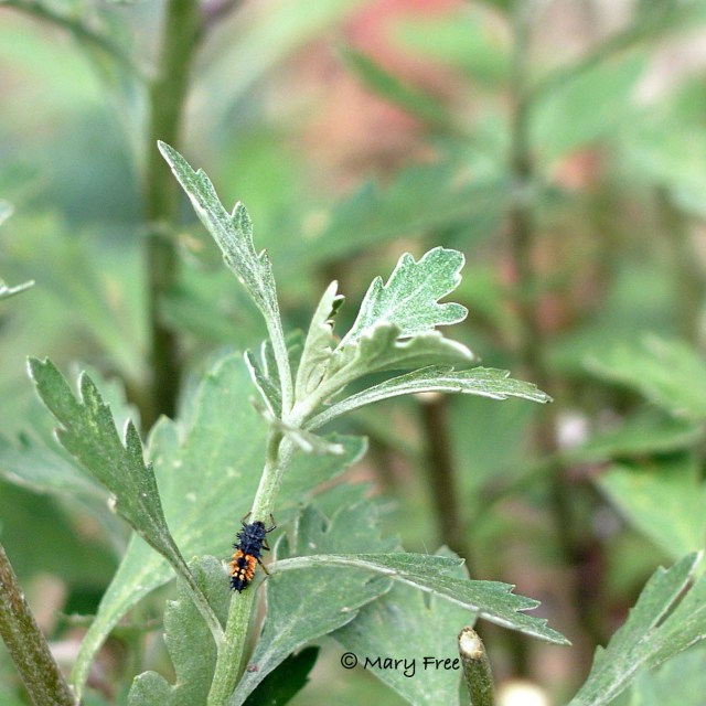 Asian lady beetle on Perovskia atriplicifolia 'Filigran.'