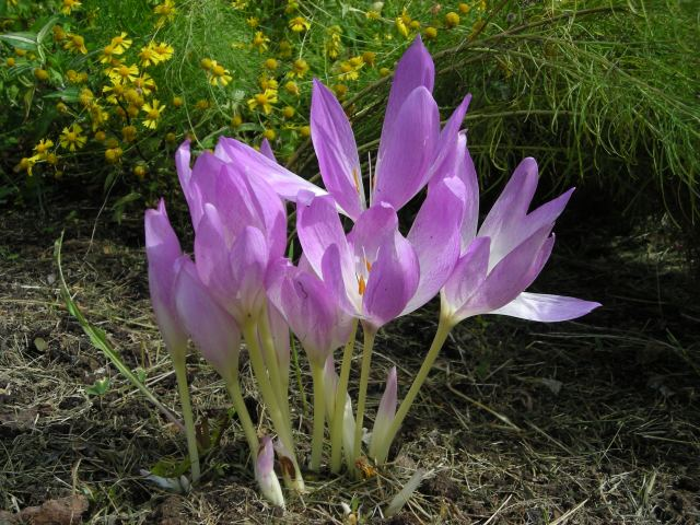 5 - Autumn Crocus