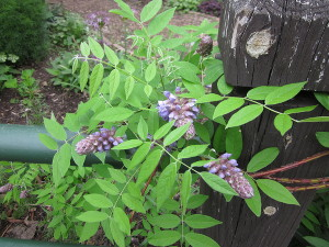 American Wisteria, one of the new native plants introduced into the garden, makes a lovely show on the fence of Bed 7.