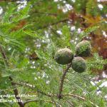 Taxodium distichum, Bald Cypress