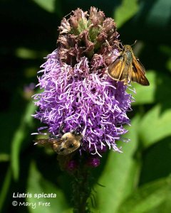 Liatris spicata with bee & moth: Mary Free