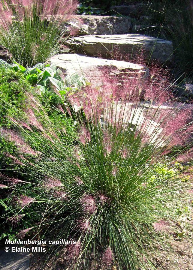 Muhlenbergia capillaris, Muhly Grass