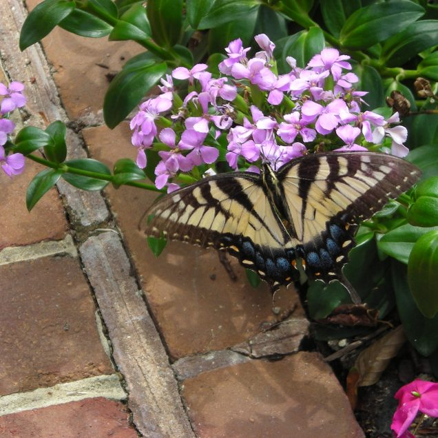Eastern Tiger Swallowtail on Dianthus japonica. Photo: Christa Watters