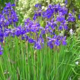 Deep purple version of Iris