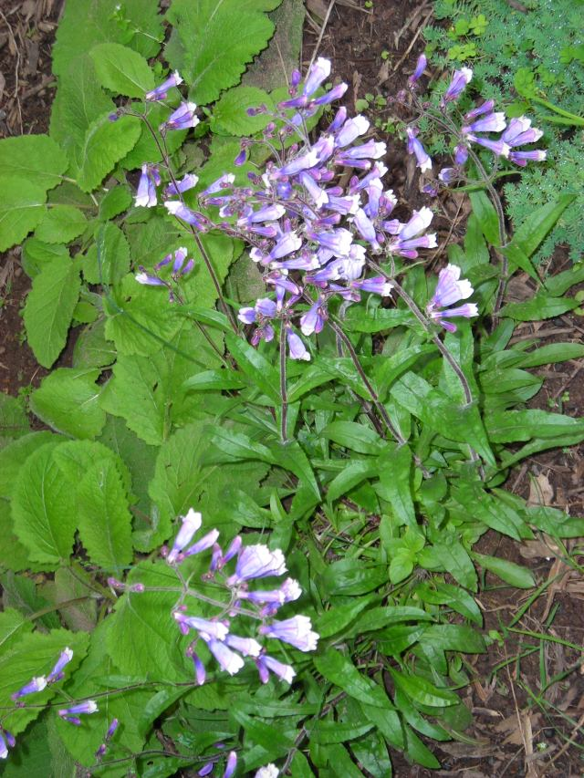 Blue Penstemon hirsutus,