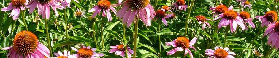 Echinacea planted en masse to attract pollinators in Bon Air Park's Sunny Garden in Arlington
