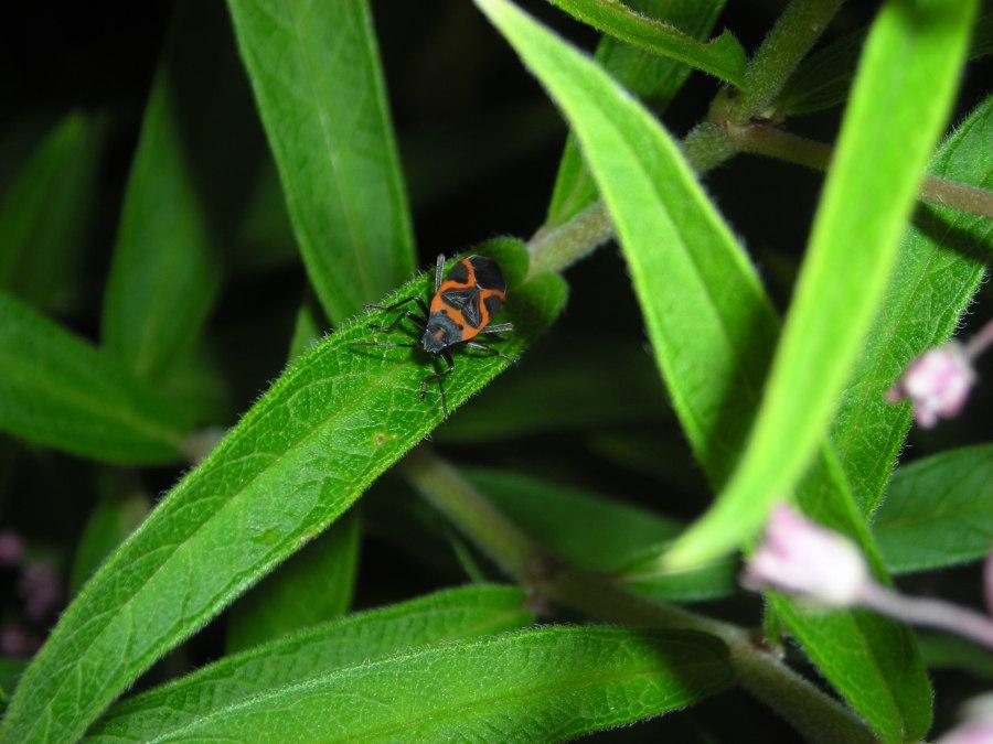 Milkweed bug on swamp milkweed leaf (Asclepias incarnata)