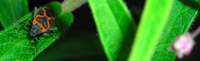 Milkweed bug on swamp milkweed leaf