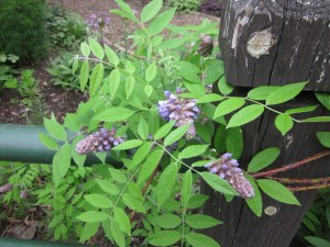 Native wisteria vine blooming in its original location.