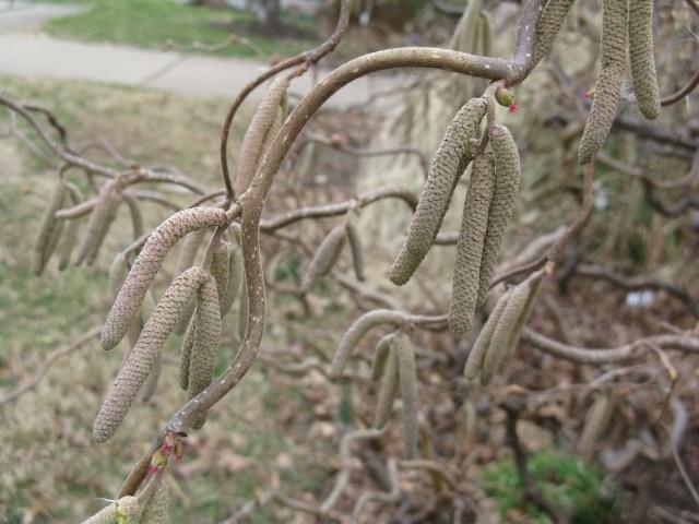 Harry Lauder's Walking Stick (Corylus avellana 'Contorta'')