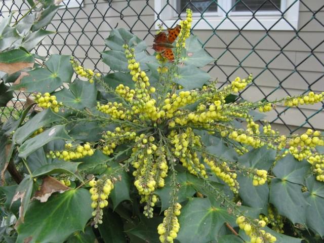 Leatherleaf mahonia (Mahonia bealei)