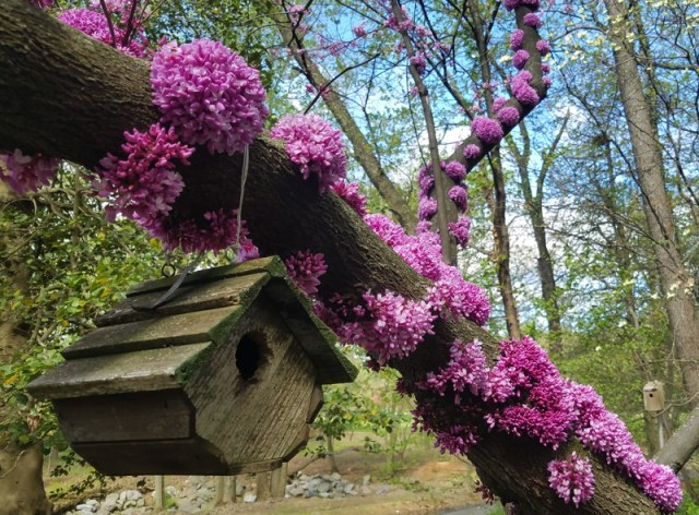 Cercis canadensis flowers on branches.