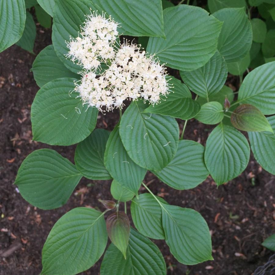 Cornus alternifolia Flowers