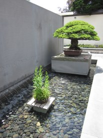 Oldest bonsai in front of museum's entrance fountain