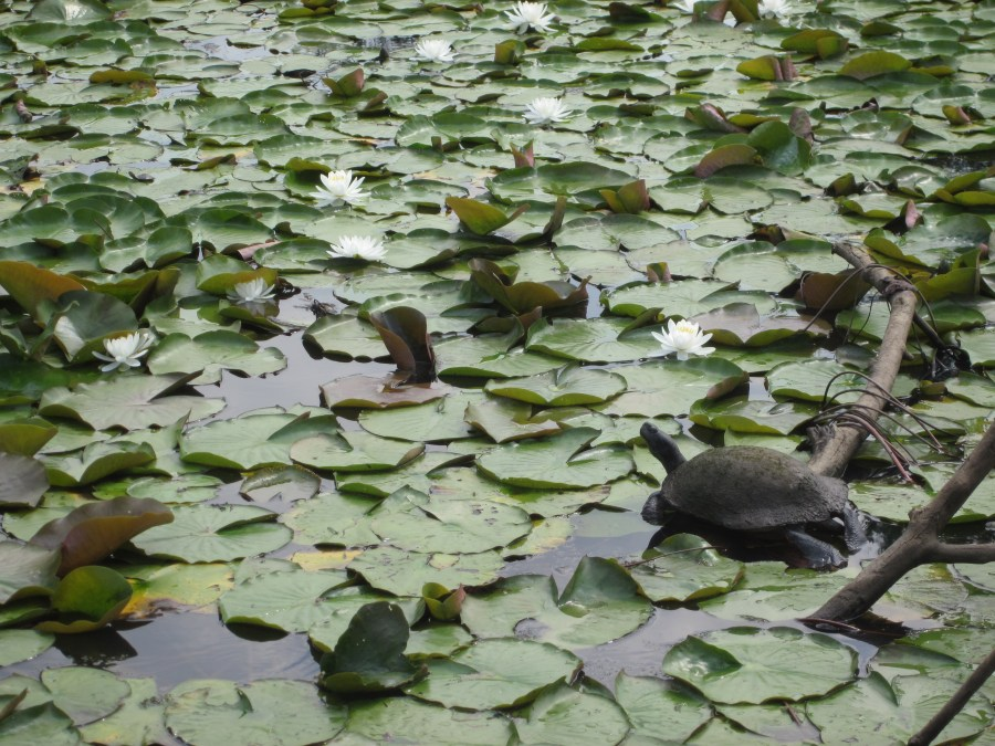 Turtle on water lilies