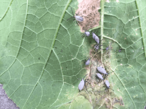 Squash bug nympha