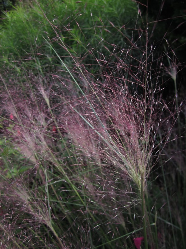 Airy plumes of muhly grass seem to send off sparks in the sun at Green Spring Gardens