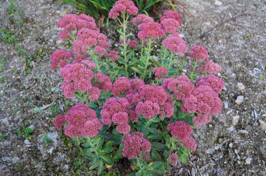 Sedum-Autumn joy
