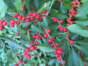 Cedar waxwings, mockingbirds, catbirds, and woodpeckers are among the songbirds that use winterberry holly as a winter food source.