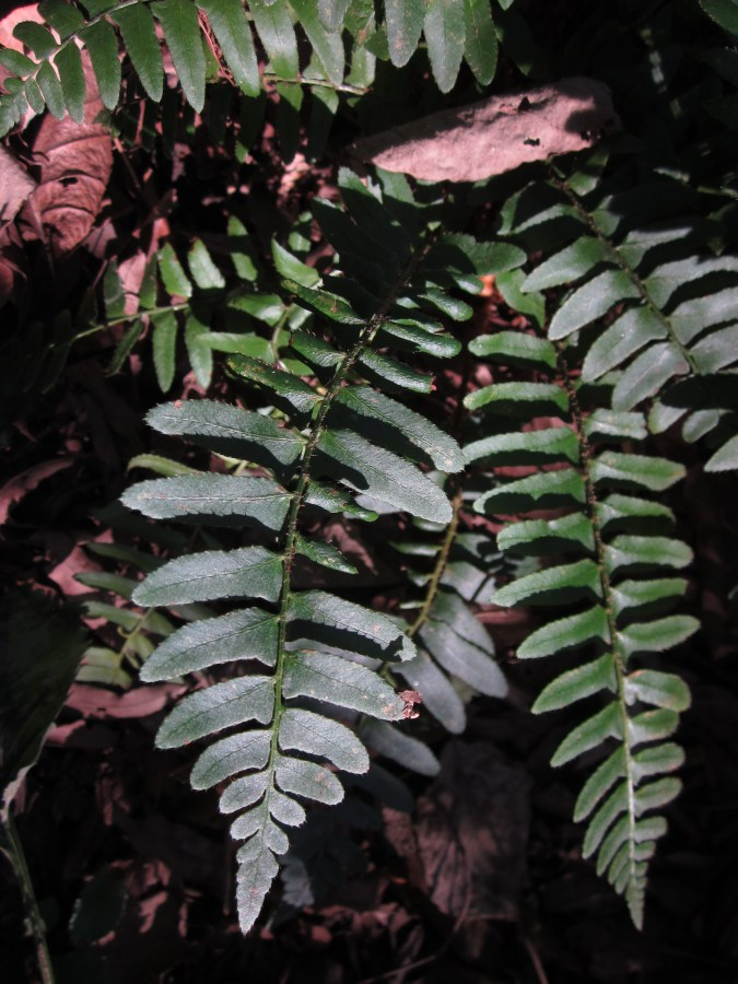 The pinnae on the fern's evergreen fronds resemble small Christmas stockings.