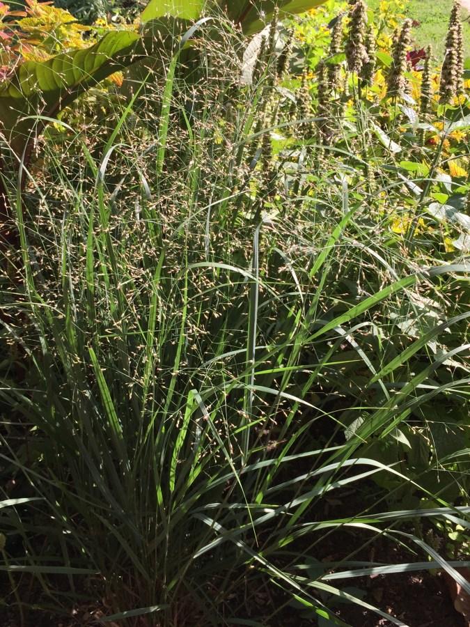 Panicum virgatum, Switch Grass in September