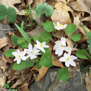 Rue anemone flowers have from five to eight sepals and many yellow-green stamens.