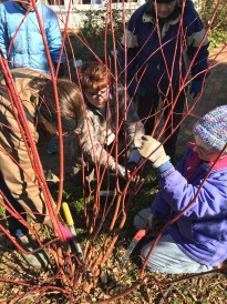 Wendy, Alyssa, and Judy prune a red twig dogwood in the garden.