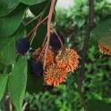 Amelanchier arborea, (Downy Serviceberry) with cedar apple rust. Photo © Elaine Mills