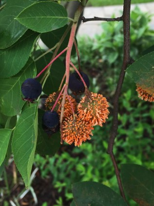 Amelanchier arborea, (Downy Serviceberry) with cedar apple rust. Photo © Elaine Mills