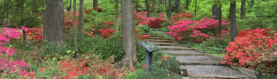 Azaleas understory at the National Arboretum