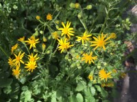 Packera aurea, Golden Ragwort