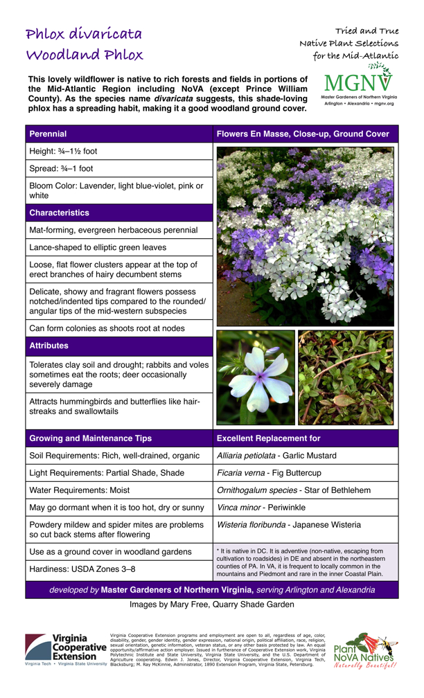 Phlox divaricata, Woodland Phlox, Perennial Height: 3⁄4–11⁄2 foot Spread: 3⁄4–1 foot Bloom Color: Lavender, light blue-violet, pink or white Characteristics Mat-forming, evergreen herbaceous perennial Lance-shaped to elliptic green leaves Loose, flat flower clusters appear at the top of erect branches of hairy decumbent stems Delicate, showy and fragrant flowers possess notched/indented tips compared to the rounded/ angular tips of the mid-western subspecies Can form colonies as shoots root at nodes Attributes Tolerates clay soil and drought; rabbits and voles sometimes eat the roots; deer occasionally severely damage Attracts hummingbirds and butterflies like hair- streaks and swallowtails Growing and Maintenance Tips Soil Requirements: Rich, well-drained, organic Light Requirements: Partial Shade, Shade Water Requirements: Moist May go dormant when it is too hot, dry or sunny Powdery mildew and spider mites are problems so cut back stems after flowering Use as a ground cover in woodland gardens Hardiness: USDA Zones 3–8 Excellent Replacement for Alliaria petiolata - Garlic Mustard Ficaria verna - Fig Buttercup Ornithogalum species - Star of Bethlehem Vinca minor - Periwinkle Wisteria floribunda - Japanese Wisteria * It is native in DC. It is adventive (non-native, escaping from cultivation to roadsides) in DE and absent in the northeastern counties of PA. In VA, it is frequent to locally common in the mountains and Piedmont and rare in the inner Coastal Plain.