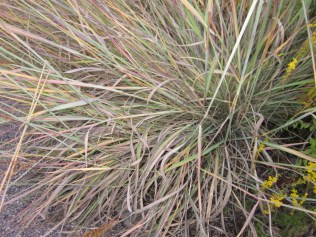 Sorghastrum nutans (Indian grass) - Fall foliage