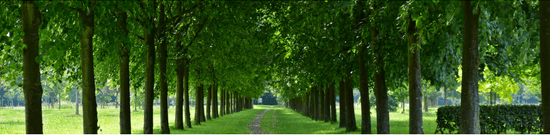 trees in a lane
