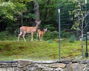 White tailled deer near garden