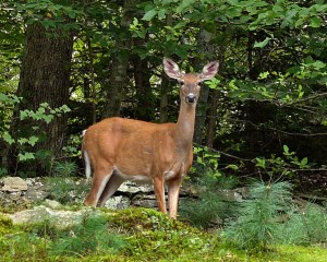 A white-tailed doe traverses a residential property that lies between a forested area and the Yantic River in CT