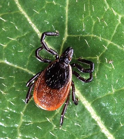 Adult Ixodes scapularis (deer tick)