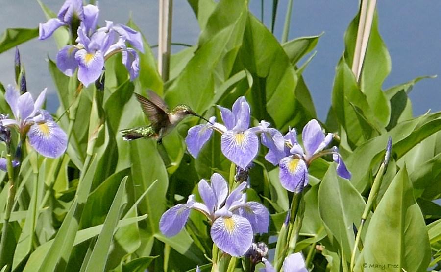 Ruby-throated hummingbird feeds on native Iris versicolor. Photo copyright Mary Free.