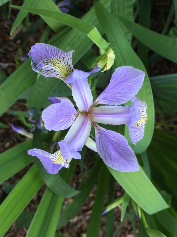 Iris virginica, Virginia Blue Flag