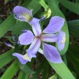 Iris virginica, Virginia Blue Flag