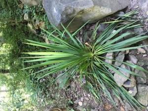 Shade Garden Yucca filamentosa (Adam's needle)